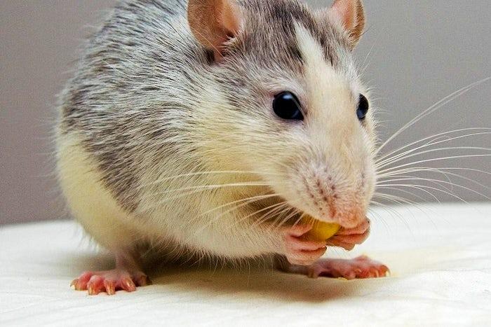 rat-pets-eat-51340crop